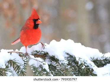 A male Northern Cardinal on a snowy spruce bough.