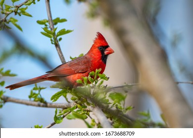 Male Northern Cardinal Perched in Mulberry Tree Against Blue Sky