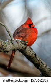 Male Northern Cardinal perched on a tree branch in winter.