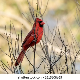 Male Northern Cardinal perched on a bare tree