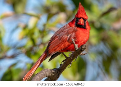 Male Northern Cardinal Perched on Limb on Winter Day in Louisiana
