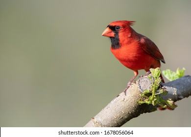 Male Northern Cardinal Perched on Branch of Mulberry Tree