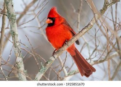 Male Northern Cardinal Perched on Bare Branches of Crepe Myrtle Tree in South Central Louisiana