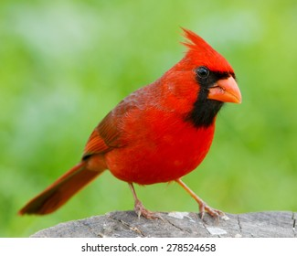 Male Northern Cardinal perched on a stump