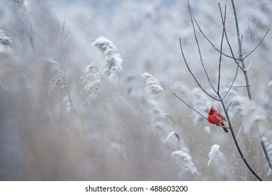 A male Northern Cardinal perches on a branch on a cold snowy day in winter.