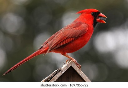 Male Northern Cardinal poses on top of a bird house