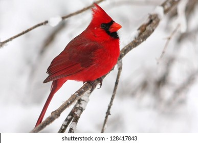 Male Northern Cardinal in the snow.
