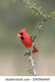 Male Northern Cardinal in Southern Texas, USA