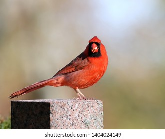 A male northern cardinal standing on a headstone.