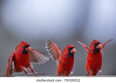 Male Northern Cardinal Trio with Wings Extended
