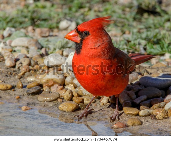 Male Northern Cardinal at water's edge in South Texas