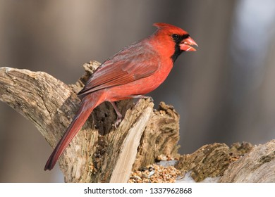 Male  Northern Cardinal in winter