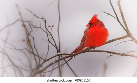A male Northern Cardinal in Winter.