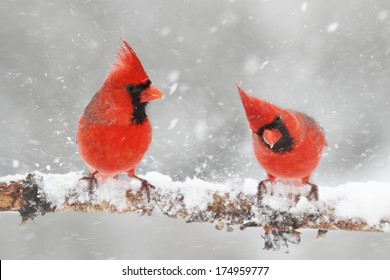 Male Northern Cardinals (cardinalis cardinalis) in a snowy scene