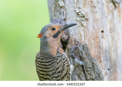 Male Northern flicker (Colaptes auratus) or common flicker at nest