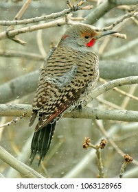 male northern flicker perched in an ash tree on a snowy day in colorado