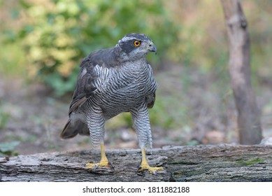 Male northern goshawk (accipiter gentilis).