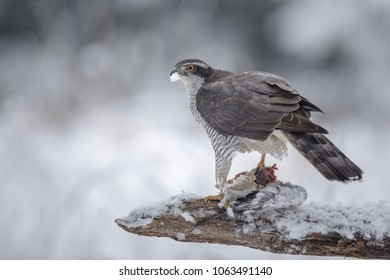 A male northern goshawk holds his meal in the snow, a white plume sticking to his beak