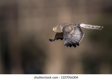 Male Northern Harrier - Grey Ghost