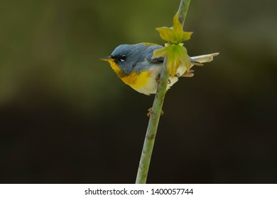 Male Northern Parula perched on a branch. Taylor Creek Park, Toronto, Ontario, Canada.