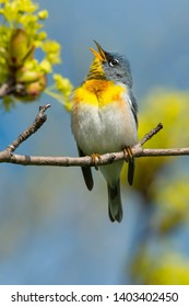 Male Northern Parula perched on a branch and singing. Ashbridges Bay Park, Toronto, Ontario, Canada.