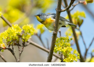 Male Northern Parula perched on a branch. Ashbridges Bay Park, Toronto, Ontario, Canada.