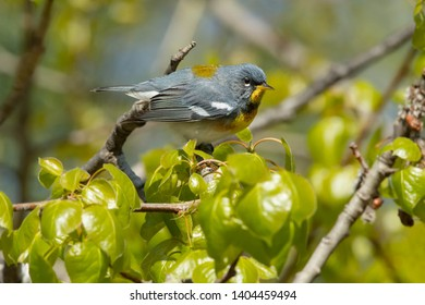 Male Northern Parula perched on a branch. Ashbridges Bay Parh, Toronto, Ontario, Canada.