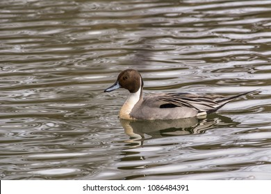 Male northern pintail duck (Anas acuta) swimming in a pond in late winter, Westham Island, Fraser River Delta, British Columbia, Canada.