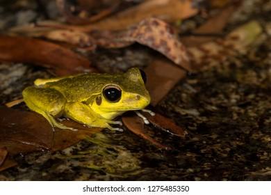 Male northern stoney creek or Junnguy frog (Litoria junnguy), Davies Creek, Queensland, Australia.