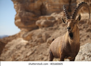 Male Nubian Ibex (Capra ibex nubia-na), standing on edge of the Ramon crater, Negev Desert, Israel