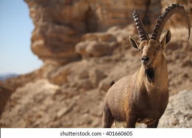 male-nubian-ibex-capra-nubiana-260nw-401