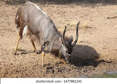 Male nyala antelope marking territory near dam water using horns to fling mud with sand background, Africa