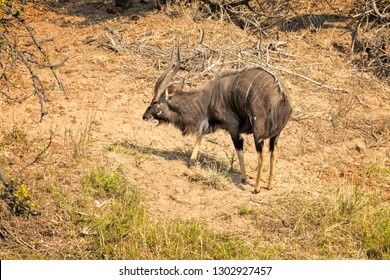 Male nyala in the bush in South Africa.