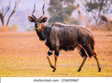 Male nyala in Malawi, Africa. The lowland nyala is a spiral-horned antelope native to southern Africa.