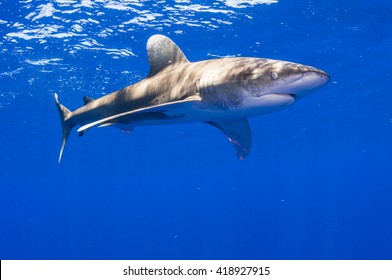 Male Oceanic Whitetip Shark off Cat Island in the Bahamas