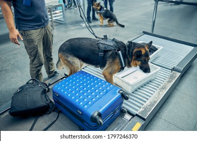 Male officer and German Shepherd dog checking travel bags during procedure of baggage control