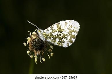 Male Orange Tip Butterfly, Anthocharis cardamines, sitting on Ribwort Plantain flowerhead