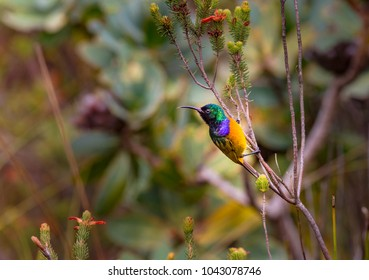 Male Orange-Breasted Sunbird  in South Africa