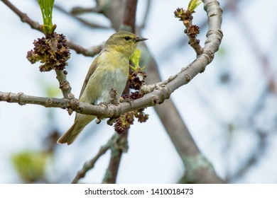 Male Orange-crowned Warbler perched on a branch. Ashbridges Bay Park, Toronto, Ontario, Canada.