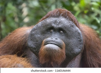 Male Orangutan, Borneo, Indonesia. Native to Indonesia, Malaysia, they are found in only the rainforests of Borneo, Sumatra. They are most arboreal of great apes, spend most of their time in trees