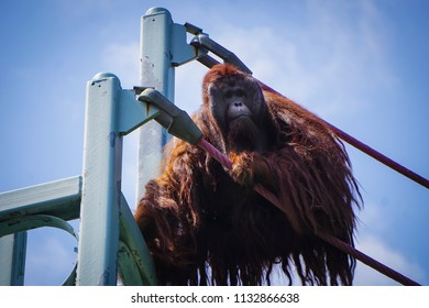 male orangutan looking out