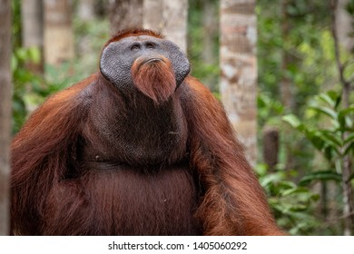 Male Orangutan on feeding platform Tanjung Puting Borneo