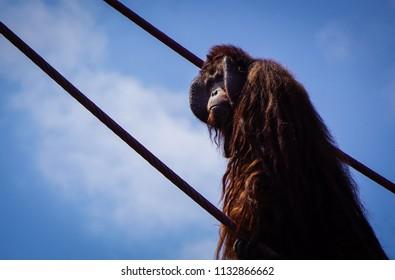 male orangutan on ropes