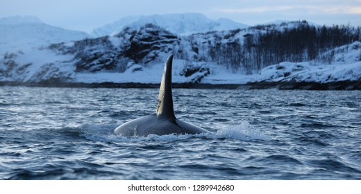 male orca or killer whale, Orcinus orca, off Skjervoy, Norway, Atlantic Ocean