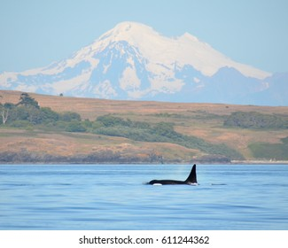 The male orca known as L95 Nigel surfaces off the shoreline of San Juan Island with Washington's Mt. Baker in the background.