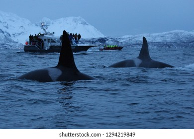 male orcas or killer whales, Orcinus orca, surfacing in front of whale watchers off Skjervoy, Norway, Atlantic Ocean
