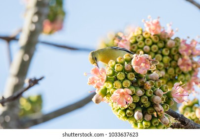 Male Orchard Oriole (Icterus spurius) Perched in a Beautiful Flowering Tree in Mexico