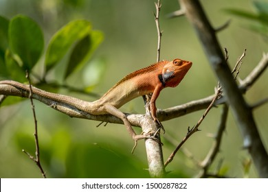 A male oriental garden lizard (Calotes versicolor) turns orange and black during a breeding display while on a branch amongst foliage.