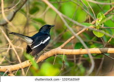 Male Oriental Magpie Robin perching on a perch