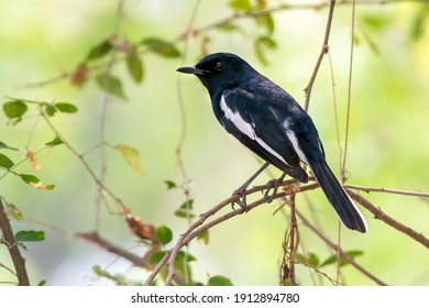 Male oriental magpie-robin perching on tree branch , Thailand